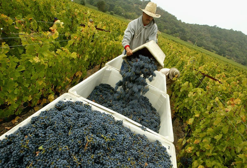A worker empties a bin of freshly picked cabernet sauvignon wine grapes at the Stags' Leap Winery September 27, 2004 in Napa, California.