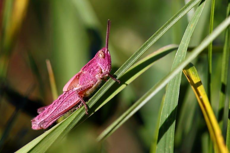 Pink Grasshopper, Chorthippus parallelus, Grasshopper, Grass, Close Up