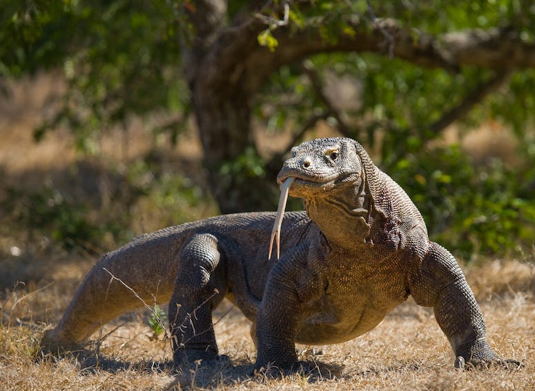Komodo Dragon, Outdoors, Komodo National Park, Indonesia