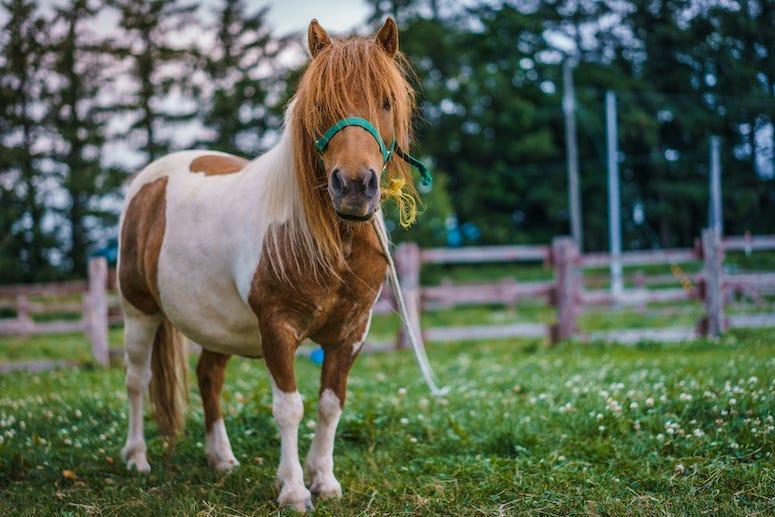 Mini Horse, Field, Horse, Dwarf Horse