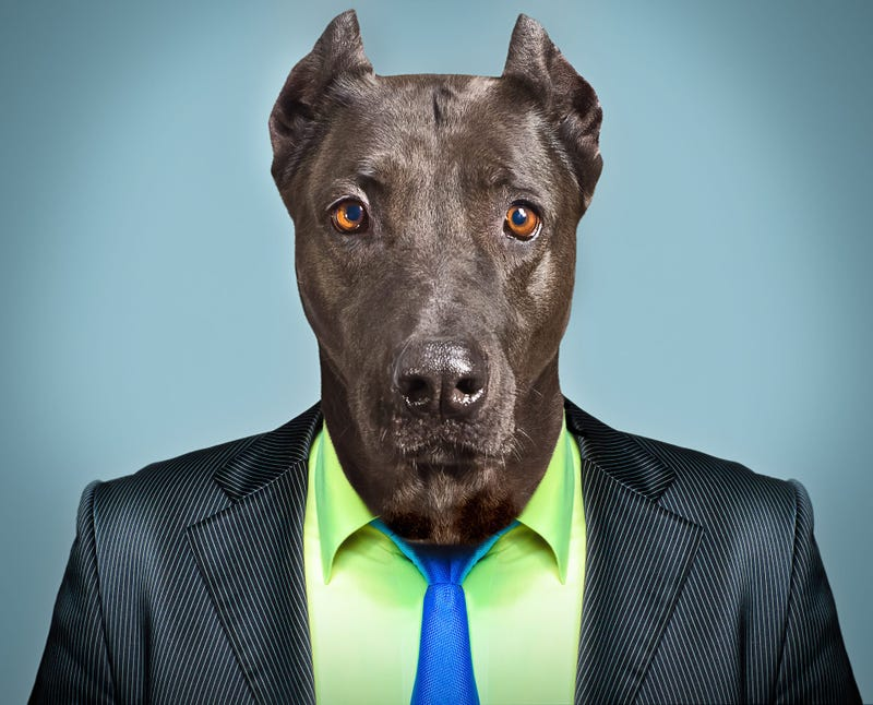 Great Dane wearing suit and tie