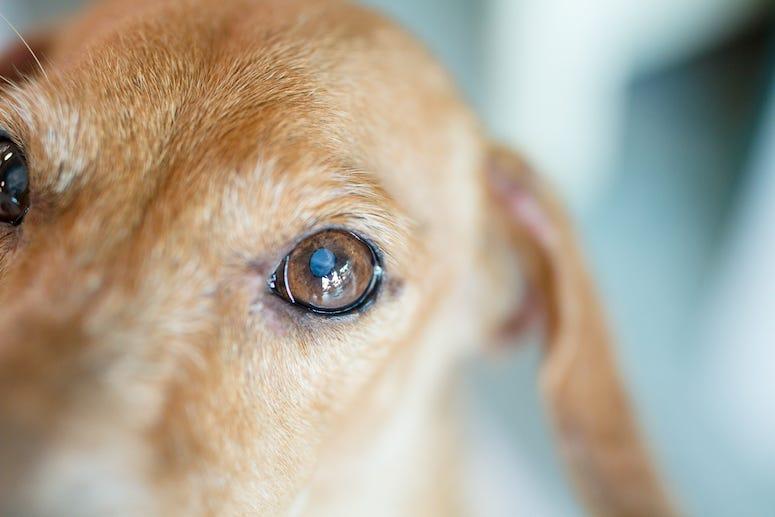 Dog, Puppy, Eyes, Cataract, Sweet, Old, Elderly