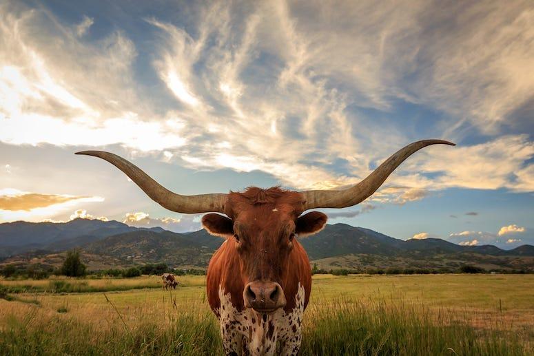 Texas Longhorn, Longhorn, Horns, Sky, Prairie,Grass, Field