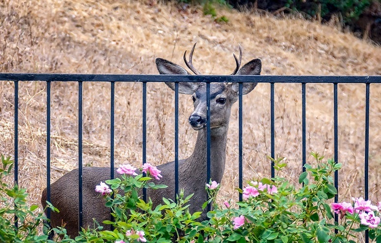 Young deer looks at roses