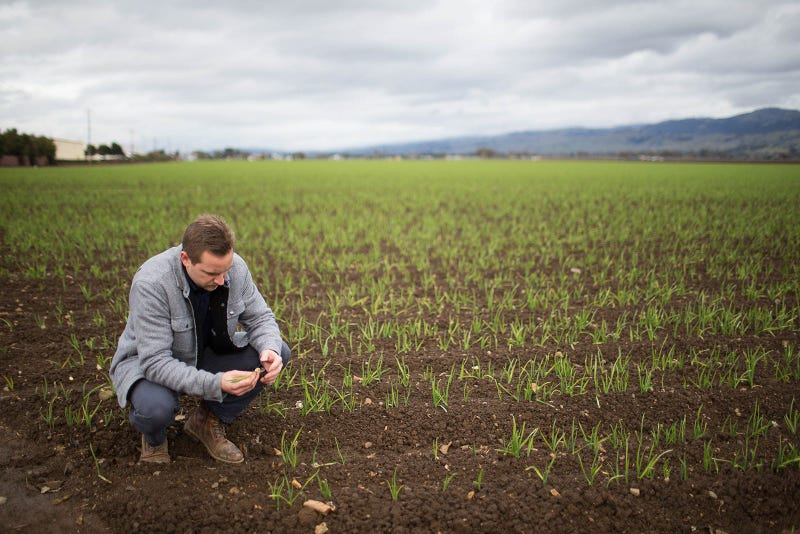 Harald Vaernes, operations manager at Christopher Ranch, pulls out a clove of garlic in Gilroy, Calif., on January 9, 2019.
