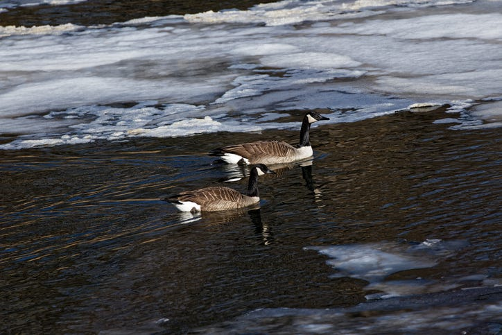Rescuers try to free goose frozen on Detroit River