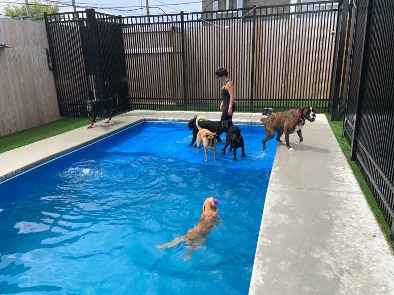Dogs swimming in the pool at The Canine Sport 'n' Swim Club