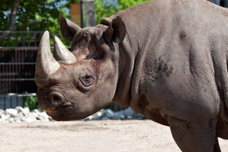 Maku, a 34-year-old male eastern black rhino at Lincoln Park Zoo