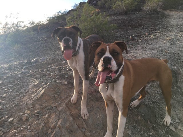 boxers, boxer dogs, pets, pet, dog, dogs