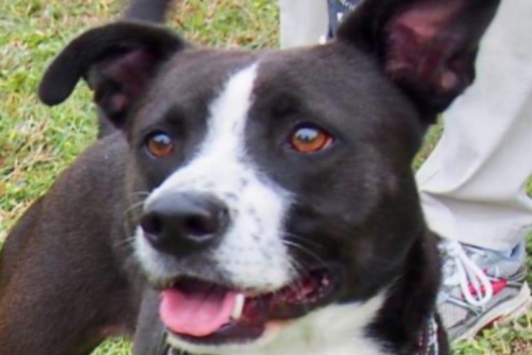 Mocha @ Austin Humane Society September 2020