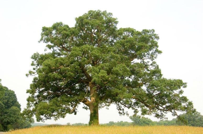 An oak tree.