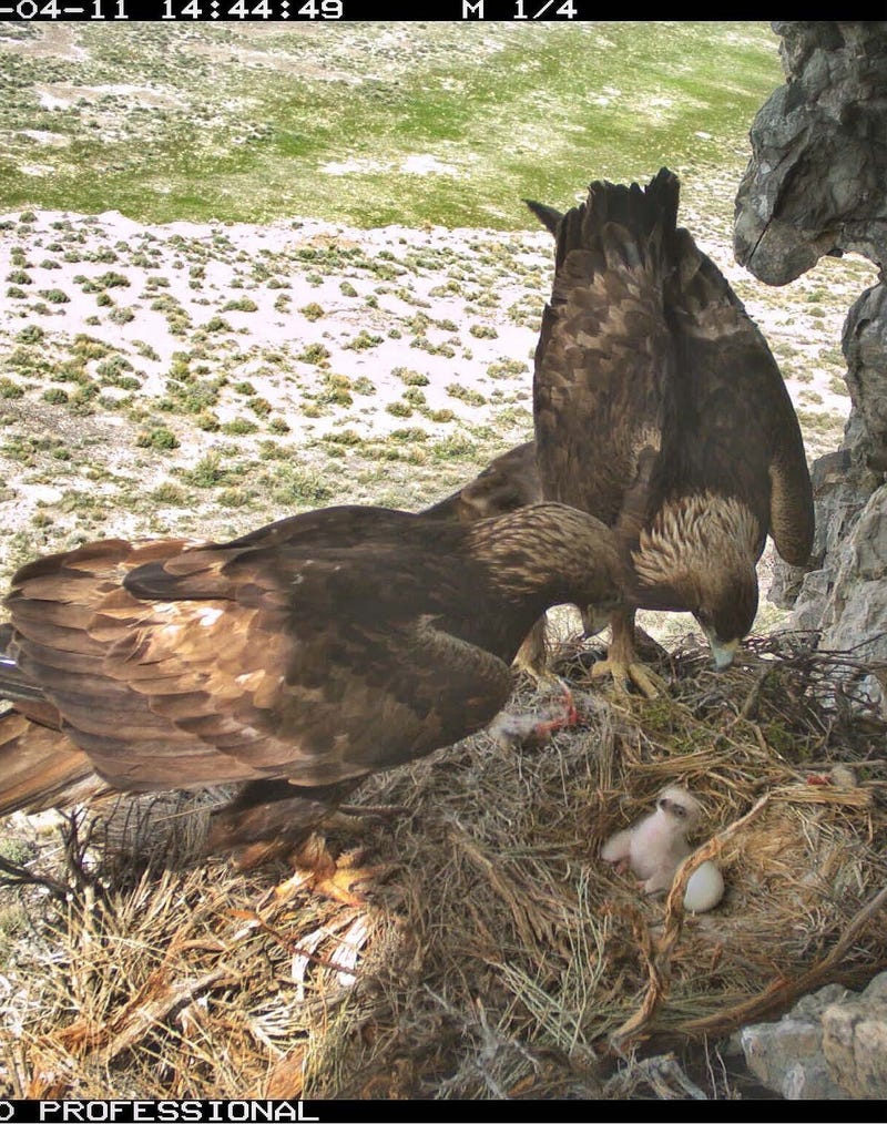 This photo, showing golden eagle parents with their chicks, was taken by a nearby remote camera. Remote cameras were placed at nesting locations to compare against the three observation methods that were evaluated during the two-year project. Dugway Proving Ground photo. (Photo Credit: U.S. Army)