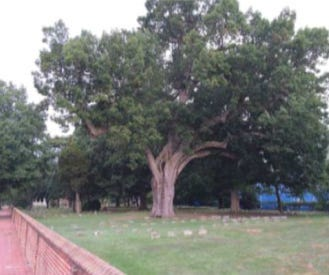 This is the 500-year-old Salem Oak tree before it collapsed last June.