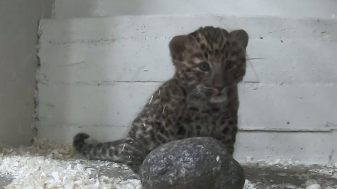 VIDEO: Brookfield Zoo Announces Birth Of Amur Leopard Cub And He's Almost Painfully Cute