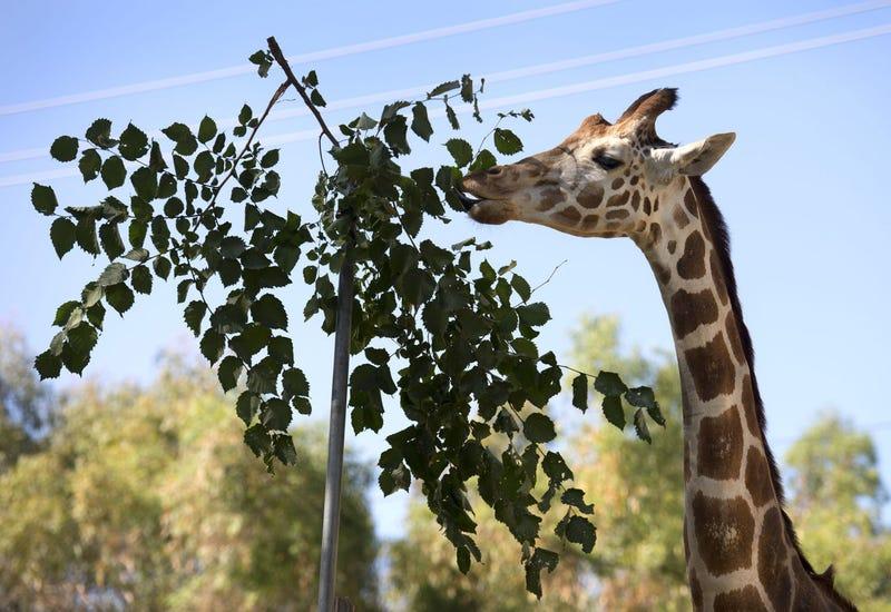 Giraffe eating leaves at Sacramento Zoo