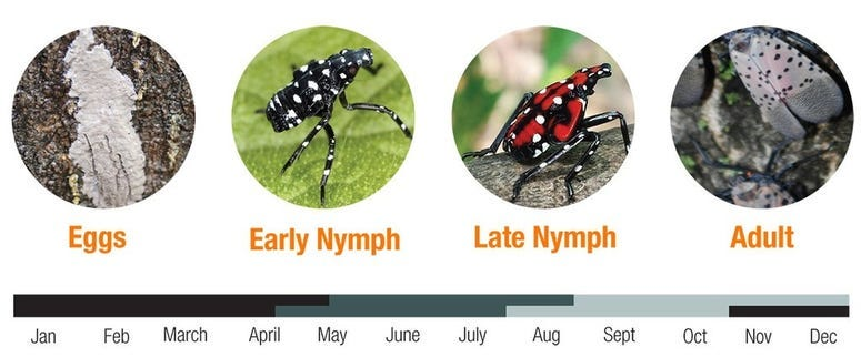 spotted lanterfly life cycle