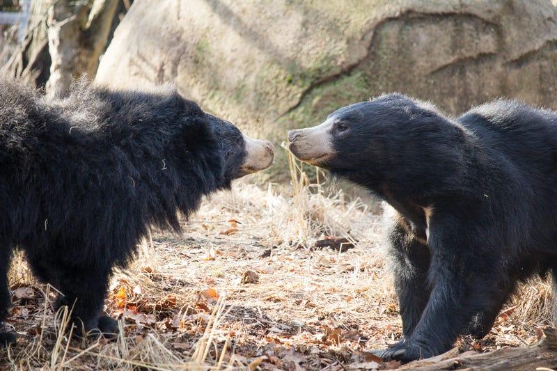 Sloth bears at the Philadelphia Zoo
