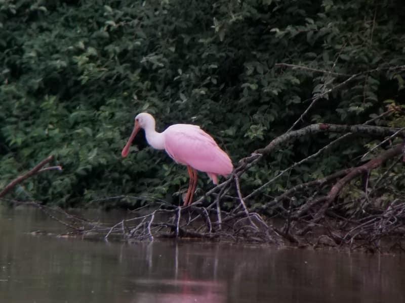 Rare bird spotted in Saline