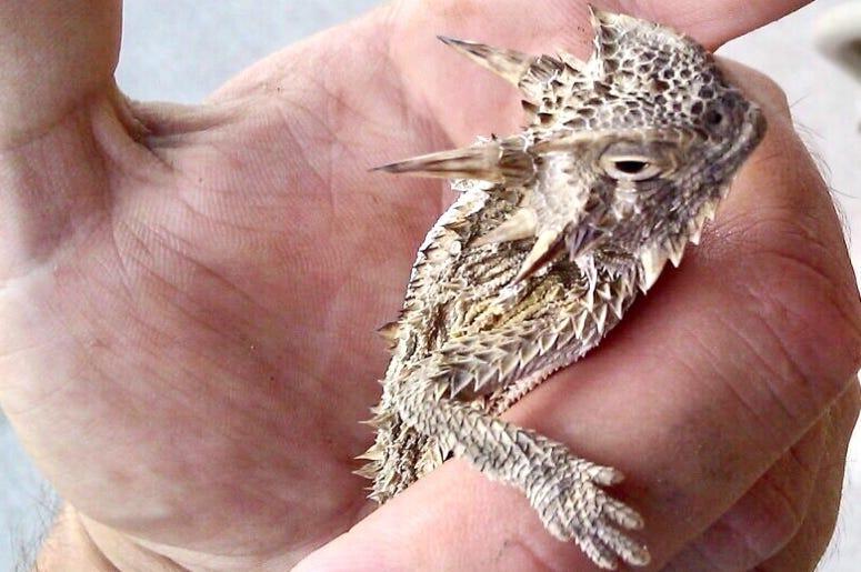 Texas Horny Lizard / Toad