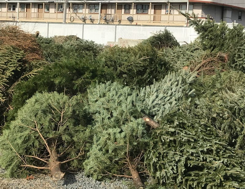 Christmas trees recycled to protect sand dunes on Brigantine beaches.