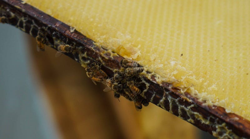 Bees buzz about on a frame