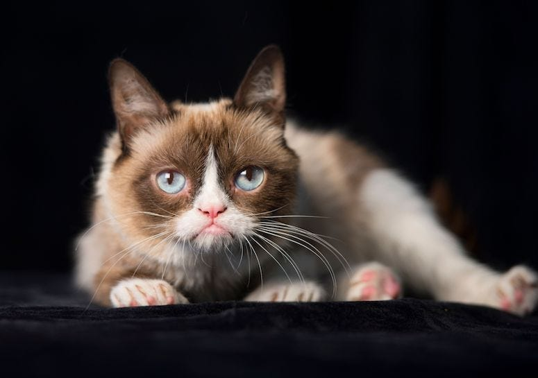 Grumpy Cat, Pose, Black Background, Cat, Kitty, 2014