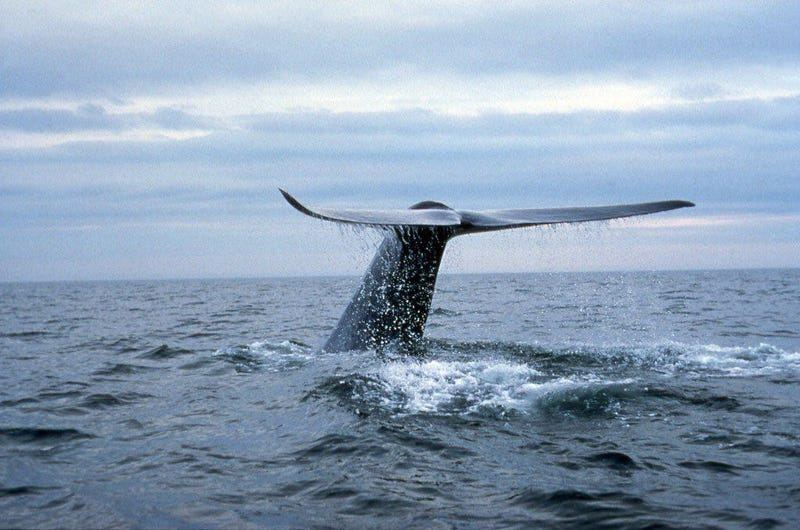 Blue whales have been seen in large numbers off the coast of San Francisco.