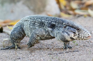 Osterlind: Dog-Sized Lizards Are Spreading Across The South