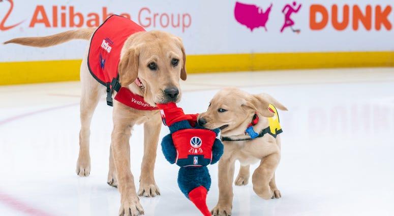 Scout, Future Service Dog