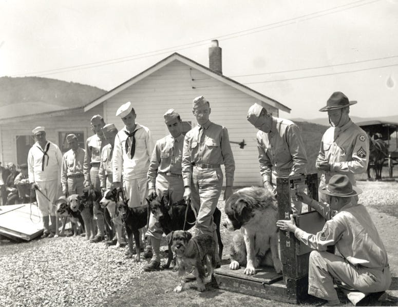 Dogs are inducted into the Army at Front Royal, Virginia. August 25, 1942