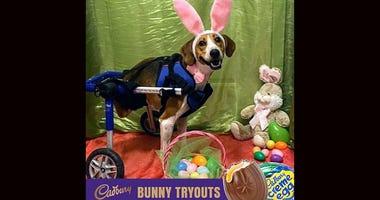 This year's Cadbury bunny is Lt Dan