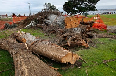 "Monterey cypress tree that toppled in Ellen Browning Scripps Park last week in La Jolla, Calif. According to local legend, the tree inspired the ""The Lorax"" by Theodor ""Dr. Seuss"" Geisel"