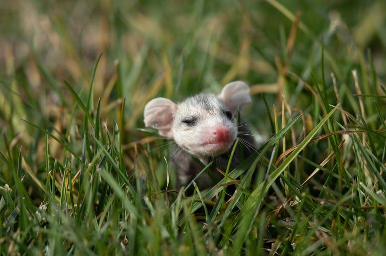 Cute Possum 3