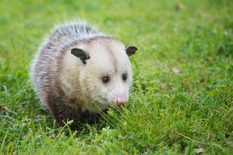 Cute Possum 12