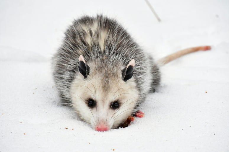 Cute Possum 4