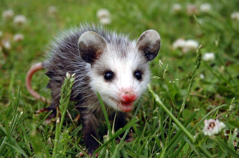 Cute Possum 8