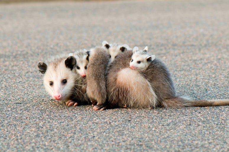 Cute Possum 11