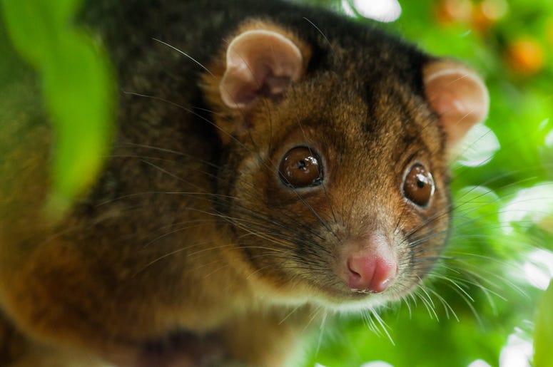 Cute Possum 2