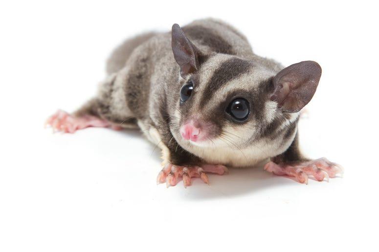 Cute Possum 1