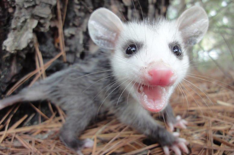 Cute Possum 7