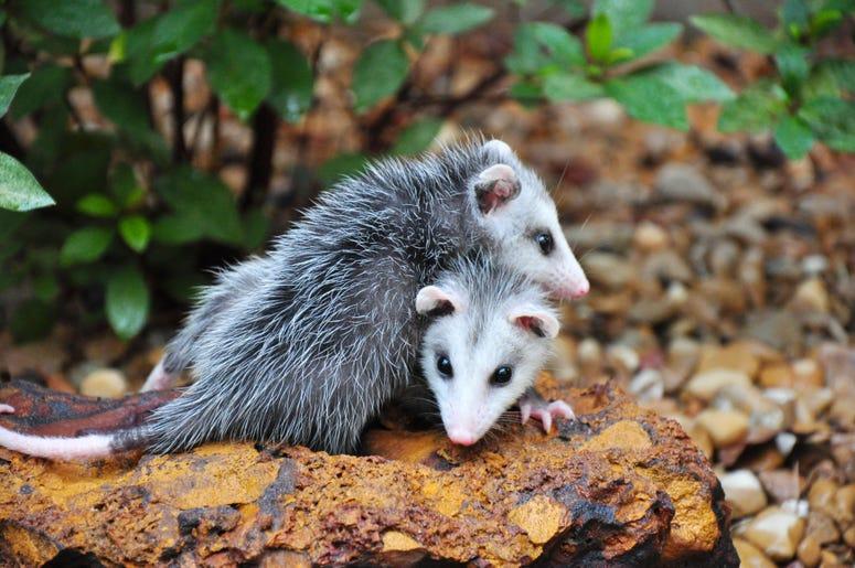Cute Possum 6
