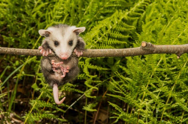 Cute Possum 9