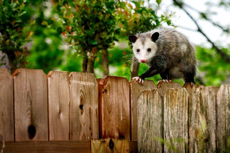 Cute Possum 13