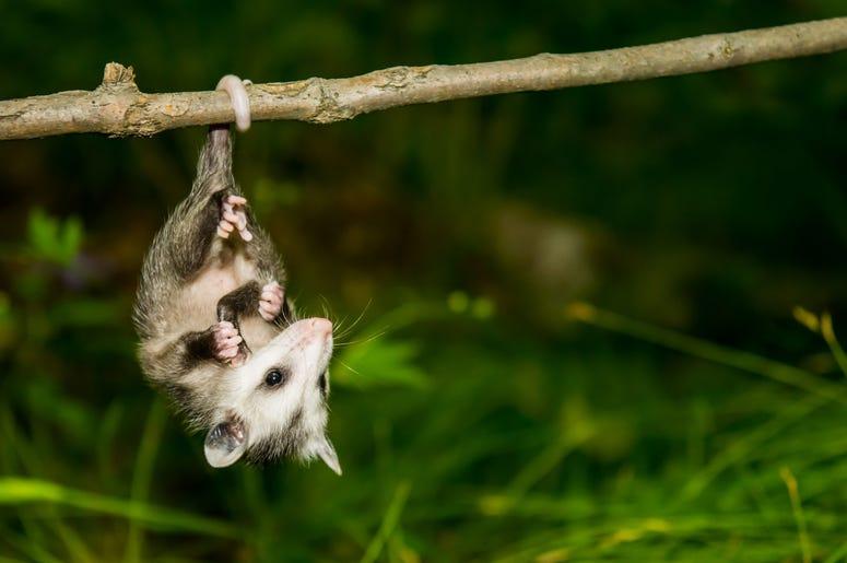 Cute Possum 10