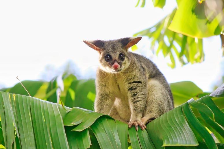 Cute Possum 5