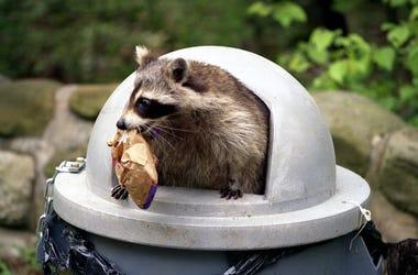 Raccoon Trash