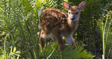 young whitetail baby fawn walking in fern plants by river's edge. Fawn still has spots on back