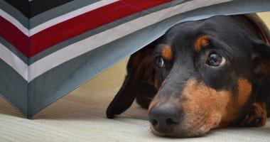Close up of Dachshund Dog hiding under colorful umbrella.