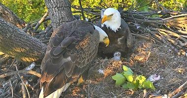 Bald Eagle Family Copyright 2018 American Eagle Foundation