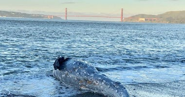 Two gray whales were recently stranded in the San Francisco Bay, according to the Marine Mammal Center.